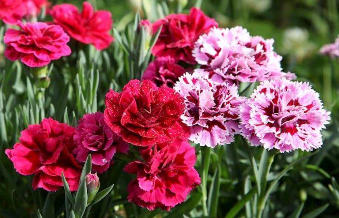 carnation flowers in field