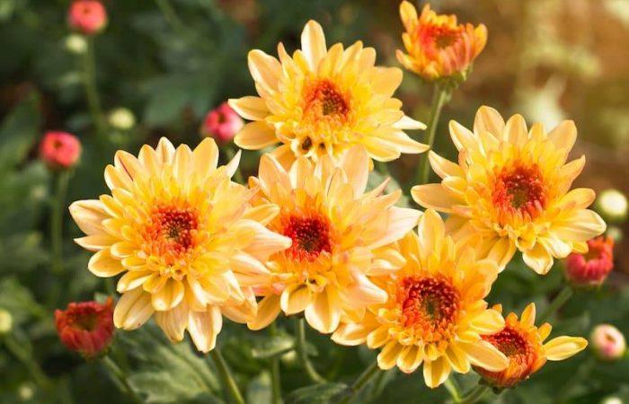 yellow chrystanthemums