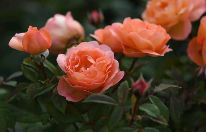 pink red roses